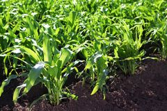 Cultivation of grain crops Stock Image