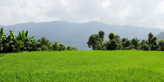 Cultivation of green crops in Pokhara valley Stock Image