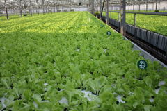 Cultivation of green leaf lettuce Stock Image