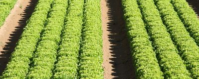 Cultivation of green salad in agricultural area 2 Stock Photos