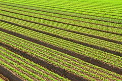 Cultivation of green salad in agricultural area 4 Royalty Free Stock Images