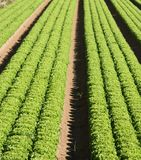 Cultivation of green salad in agricultural area 1 Stock Photo