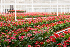 Cultivation greenhouse Royalty Free Stock Photos