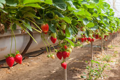 Cultivation on greenhouse. Hydroponic cultivation of  sweet strawberries on greenhouse Stock Photography