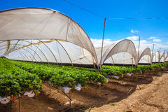 Cultivation on greenhouse Royalty Free Stock Image