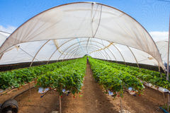 Cultivation on greenhouse Stock Photos