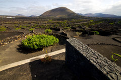 Cultivation home viticulture  lanzarote spain   geria   screw Royalty Free Stock Photo
