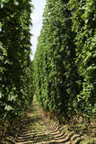 Cultivation of hops Stock Photography