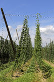 Cultivation of hops Royalty Free Stock Images