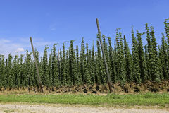 Cultivation of hops Royalty Free Stock Photos