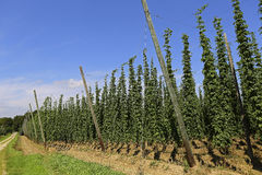 Cultivation of hops Stock Images