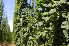Cultivation of hops Stock Photos
