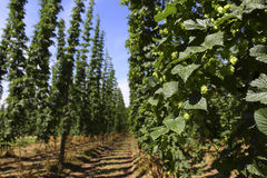 Cultivation of hops Stock Image
