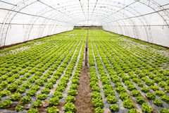 Cultivation in a hothouse Royalty Free Stock Photo