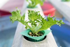 Cultivation hydroponics green vegetable in farm Stock Photography