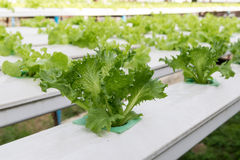 Cultivation hydroponics green vegetable in farm Stock Image