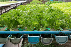Cultivation hydroponics green vegetable in farm Royalty Free Stock Photo