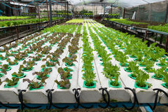 Cultivation hydroponics green vegetable in farm Stock Photos