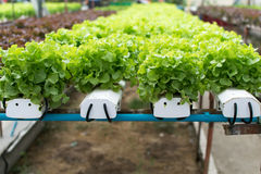 Cultivation hydroponics green vegetable in farm Royalty Free Stock Images