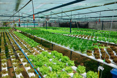 Cultivation hydroponics green vegetable Stock Photos