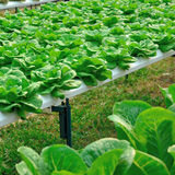 Cultivation hydroponics lettuce vegetable in farm Stock Photos