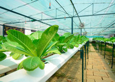 Cultivation hydroponics lettuce vegetable in farm Royalty Free Stock Photos