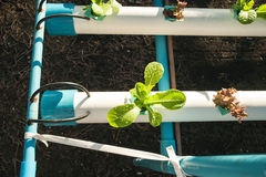 Cultivation hydroponics vegetable in farm Stock Photos