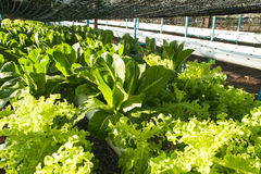 Cultivation hydroponics vegetable in farm Royalty Free Stock Photo