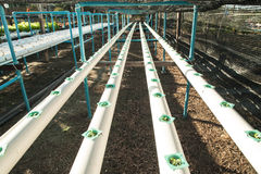 Cultivation hydroponics vegetable in farm Stock Photography