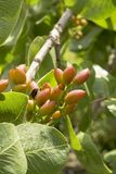 Cultivation of important ingredient of Italian cuisine, plantation of pistachio trees with ripening pistachio nuts near Bronte,. Located on slopes of Mount Etna stock image