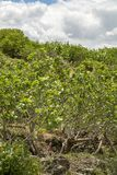 Cultivation of important ingredient of Italian cuisine, plantation of pistachio trees with ripening pistachio nuts near Bronte,. Located on slopes of Mount Etna stock photo