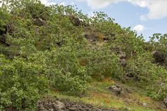 Cultivation of important ingredient of Italian cuisine, plantation of pistachio trees with ripening pistachio nuts near Bronte,. Located on slopes of Mount Etna royalty free stock images