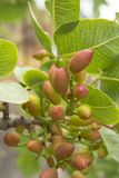 Cultivation of important ingredient of Italian cuisine, plantation of pistachio trees with ripening pistachio nuts near Bronte,. Located on slopes of Mount Etna stock images