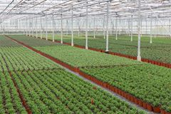 Cultivation of indoor plants in a Dutch greenhouse Royalty Free Stock Photos