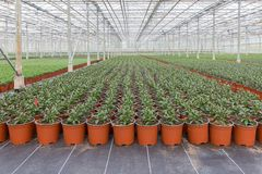Cultivation of indoor plants in a Dutch greenhouse stock images