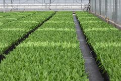 Cultivation of indoor tulips in a Dutch greenhouse stock photo