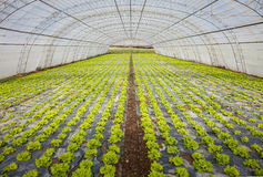 Cultivation of lettuce Stock Image