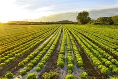 Cultivation of lettuce. Sunset on lettuce growing field. Vegetable garden in the countryside stock photos