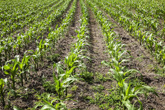 Cultivation of maize Royalty Free Stock Image