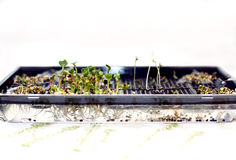 Cultivation of microcline in the work of seeds. Early spring in the apartment stock photo