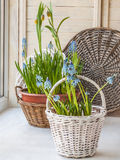 Cultivation muscari and fritillaria in the rural baskets Royalty Free Stock Image