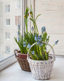 Cultivation muscari and grouse in pots Stock Photography