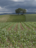 Cultivation of new agricultural crops Royalty Free Stock Photo