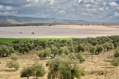Cultivation of olive trees, flooded by heavy rains Stock Photos