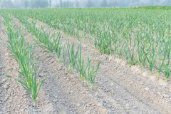 Cultivation of organic leek Allium ampeloprasum in Kent, Washi. Row of leeks growing on a bed planted in neat rows leads to horizontal at farm in Kent Stock Photo