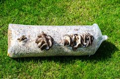 Cultivation of oyster mushrooms on substrate. Studio Photo Stock Photos