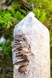 Cultivation of oyster mushrooms on substrate. Studio Photo Royalty Free Stock Photos