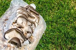 Cultivation of oyster mushrooms on substrate. Studio Photo Stock Images