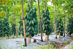 Cultivation of Papaya Royalty Free Stock Images