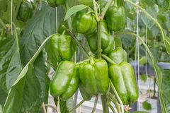 Cultivation of peppers in a Dutch greenhouse Royalty Free Stock Photos